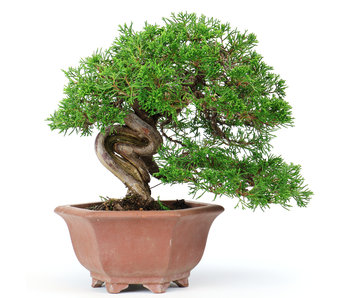 Chinese jeneverbes (Itoigawa), 19 cm, ± 40 jaar oud