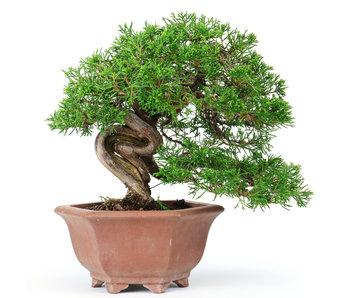 Enebro chino (Itoigawa), 19 cm, ± 40 años