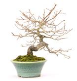Kakifruit of persimon, 18,5 cm, ± 25 jaar oud, (vrouwelijk) in een handgemaakte Bikou-pot