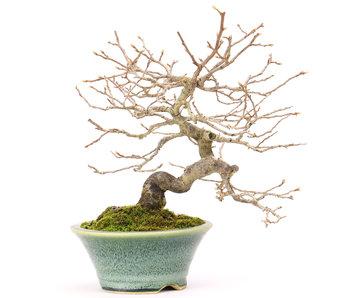 Kakifruit of persimon, 18,5 cm, ± 25 jaar oud