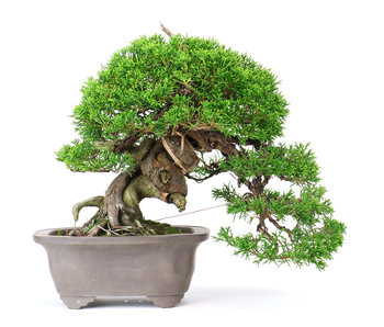 Chinese juniper (Itoigawa), 20 cm, ± 25 years old