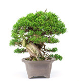 Chinese juniper (Itoigawa), 20 cm, ± 25 years old, in a very compact shape