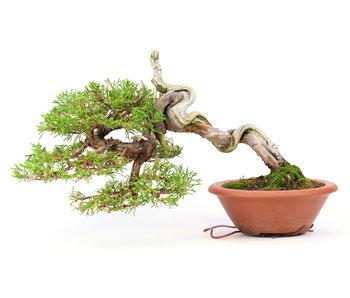 Chinese juniper (Itoigawa), 18 cm, ± 35 years old