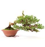 Chinese juniper (Itoigawa), 18 cm, ± 35 years old, with beautiful rotating shari