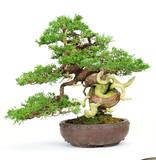 Chinese jeneverbes (Itoigawa), 27 cm, ± 25 jaar oud, in een handgemaakte Japanse pot van Yamaaki