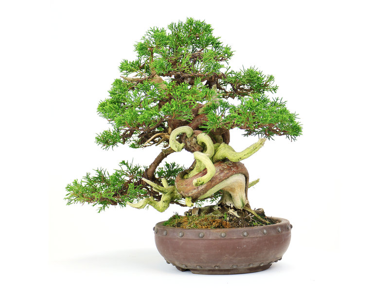 Chinese juniper (Itoigawa), 27 cm, ± 25 years old, in a handmade Japanese pot by Yamaaki