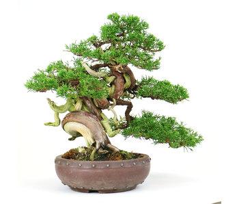 Chinese jeneverbes (Itoigawa), 27 cm, ± 25 jaar oud