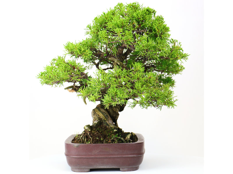 Chinese juniper (Itoigawa), 28 cm, ± 25 years old, in a handmade Japanese pot by Yamaaki
