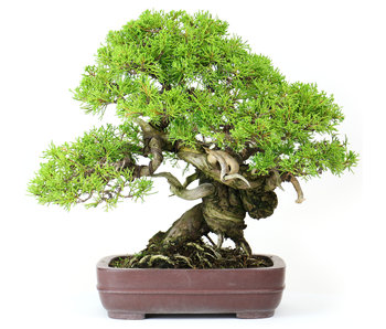 Genévrier de Chine (Itoigawa), 28 cm, ± 25 ans