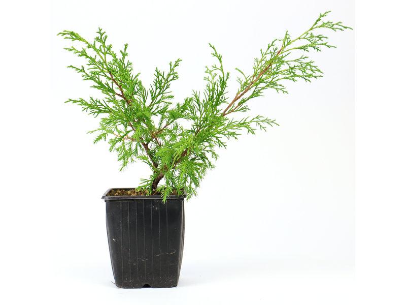 Chinese jeneverbes (Itoigawa), 26 cm, ± 3 jaar oud, een driejarige stek, uit een selectie. U ontvangt niet per se deze boom, maar gelijkwaardig materiaal
