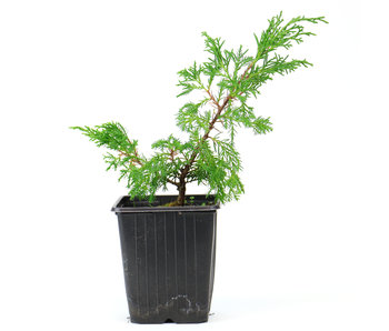 Chinese juniper cuttings (Itoigawa), ± 2 years in pot, approx. 12 cm