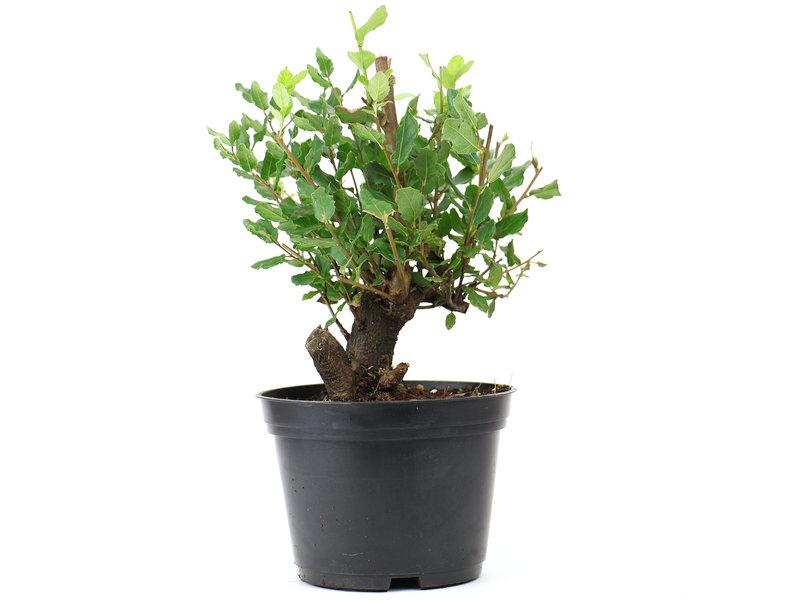 Cork oak, 16 cm, ± 8 years old