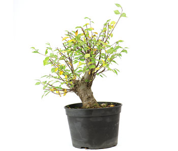 Cork bark elm with small leaves, 30 cm, ± 8 years old