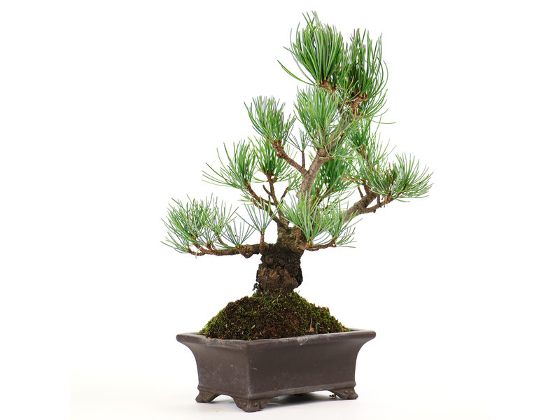 Japanese white pine, 20 cm, ± 12 years old