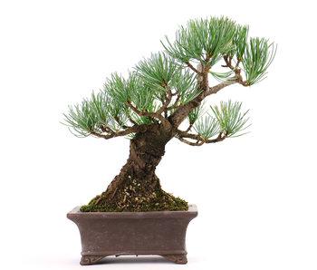 Japanese white pine, 18 cm, ± 12 years old