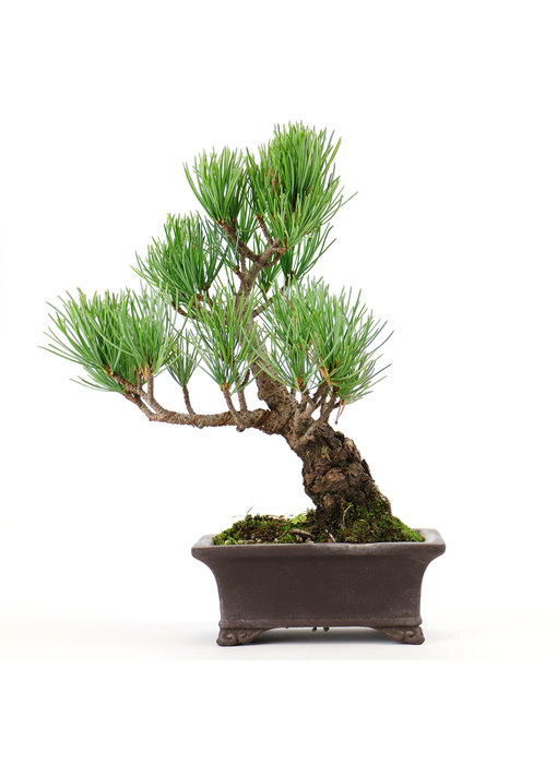 Japanese white pine, 19 cm, ± 12 years old