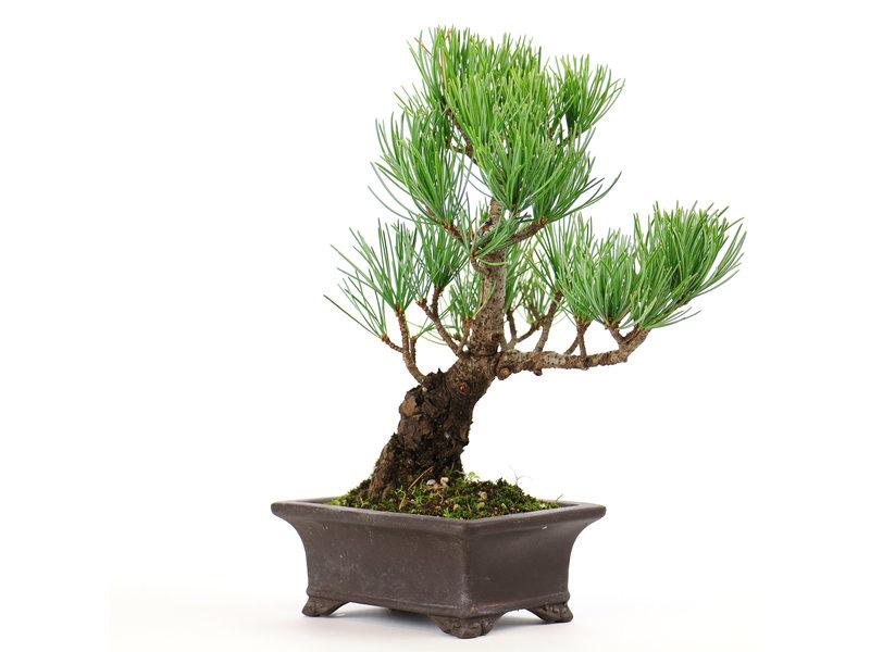 Japanese white pine, 19 cm, ± 12 years old