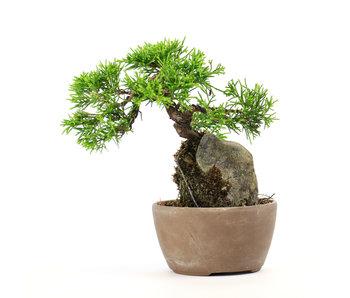Chinese juniper (itoigawa), 12,5 cm, ± 6 years old