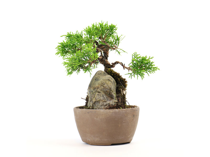 Chinese jeneverbes (itoigawa), 12,5 cm, ± 6 jaar oud