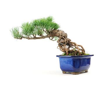 Japanese white pine, 16,2 cm, ± 15 years old