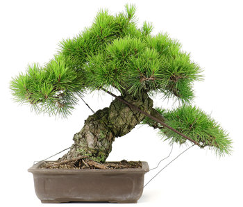 Japanese black pine, 42,5 cm, ± 40 years old
