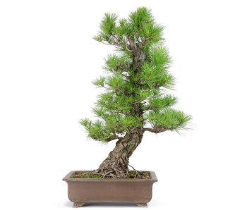 Japanese black pine, 60 cm, ± 40 years old