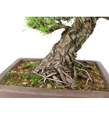 Japanese black pine, 60 cm, ± 40 years old, which is due to the compact ramification ready to style