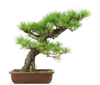 Japanese black pine, 43 cm, ± 40 years old