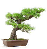 Japanese black pine, 43 cm, ± 40 years old, which is due to the compact ramification ready to style