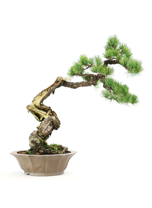 Japanese white pine, 45 cm, ± 35 years old