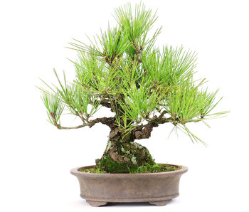 Japanese black pine, 31 cm, ± 35 years old