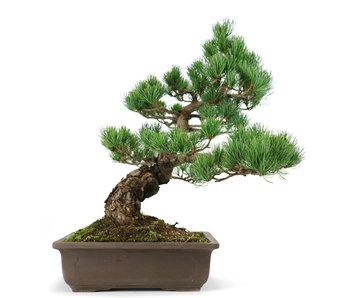 Japanese white pine, 42 cm, ± 22 years old