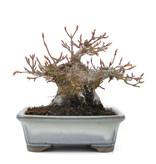 Acer Palmatum 100 mm x 170 mm x 110 mm   Ø 65 mm