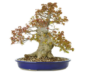 Trident maple, 36 cm, ± 30 years old