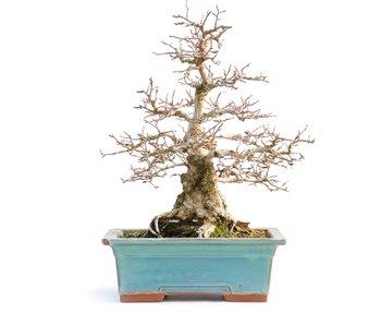 Carpinus coreana, 33 cm, ± 50 años