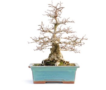 Carpinus coreana, 33 cm, ± 50 years old