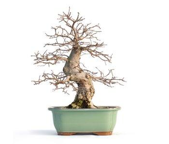 Carpinus coreana, 33 cm, ± 40 years old