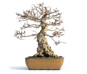 Carpinus coreana, 32 cm, ± 50 years old