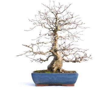 Carpinus coreana, 40 cm, ± 45 años