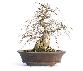 Carpinus coreana, 30 cm, ± 50 años