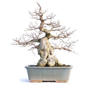 Carpinus coreana, 41 cm, ± 65 años