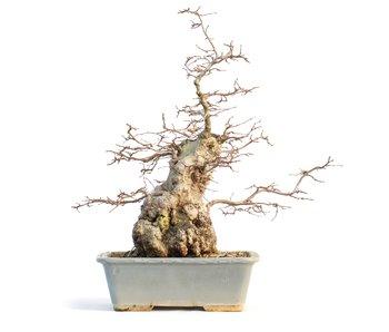 Carpinus coreana, 42 cm, ± 65 anni
