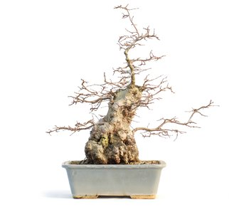 Carpinus coreana, 42 cm, ± 65 años