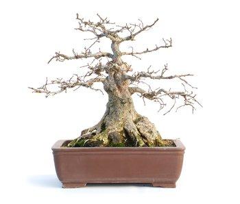 Carpinus coreana, 29 cm, ± 50 años