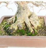 Carpinus coreana, 29 cm, ± 50 jaar oud, (Yamadori)
