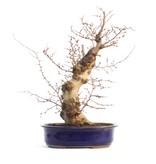 Carpinus coreana, 44 cm, ± 35 jaar oud