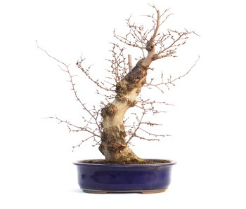 Carpinus coreana, 44 cm, ± 35 anni