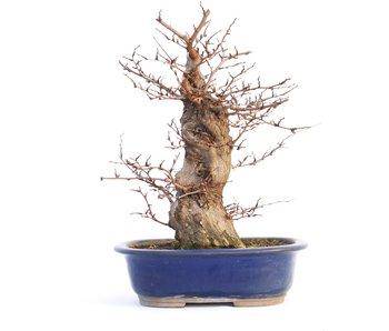 Carpinus coreana, 37 cm, ± 35 anni