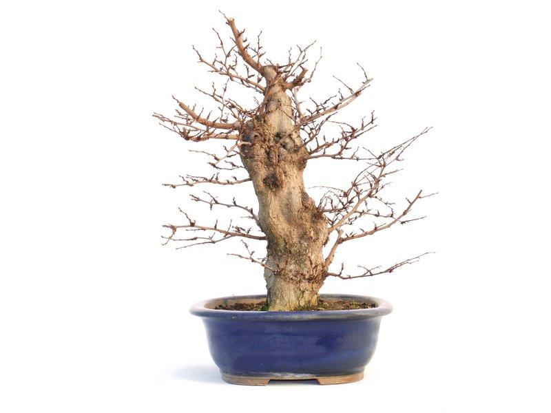 Carpinus coreana, 37 cm, ± 35 jaar oud