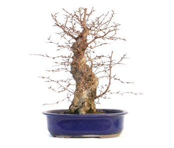Carpinus coreana, 37 cm, ± 35 ans